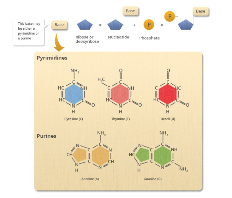Basic structure of DNA. Blue pentagon, called ribose or deoxyribose, has a yellow rectangular attached to one of its corners, called base. To the opposite corner, the orange sphere with letter P inside is attached, called phosphate. Below that image, the box with chemical structures of pyrimidines - cytosine, thymine and uracil,  and purines - adenine and guanine, is shown.
