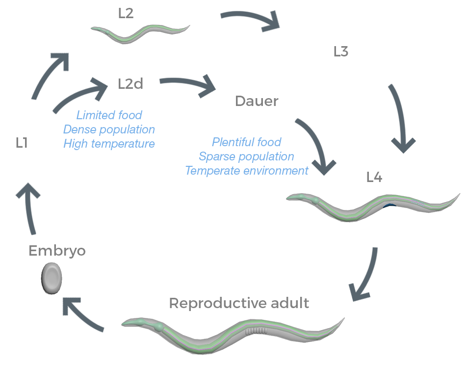 Life cycle diagram, a series of life cycle stages that form a circle with arrows indicating the direction of the stages. The embryo phase is depicted as a small oval. An arrow points to L1. After L1, the cycle splits into two possible paths. One arrow points to L2, depicted as a small nematode. The other arrow points to L2d, and the arrow is labelled with limited food, dense population, and high temperature. From L2, an arrow points to L3, and then an arrow points to L4, depicted as a mature nematode. From L2d, an arrow points to the Dauer phase. From the Dauer phase, an arrow that is labelled with plentiful food, sparse population, and temperate environment points to L4, the mature nematode. From L4, an arrow points to reproductive adult, which is depicted as a larger mature nematode. From reproductive adult, an arrow points back to embryo and the cycle continues on as previously described.